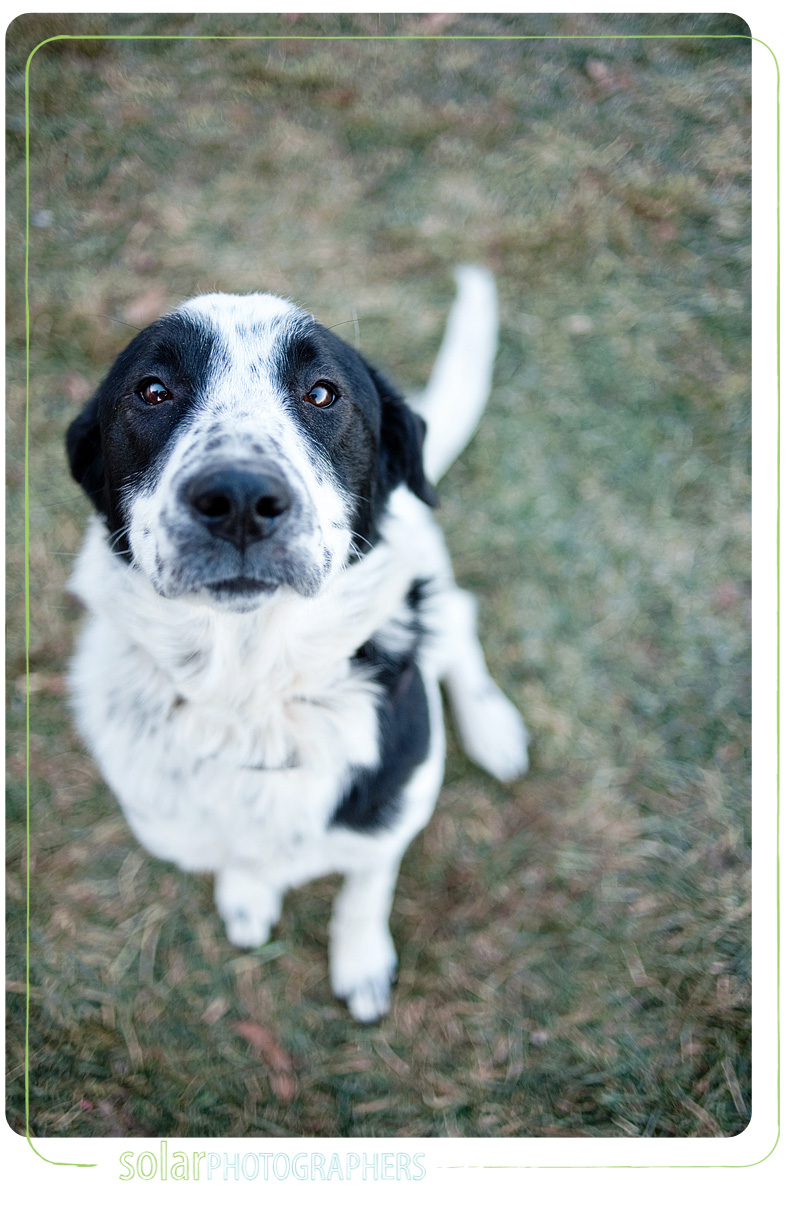 Shih Tzu Border Collie Mix http://solarphotographers.com/blog/2009/12/15/please-take-me-home-december-15/