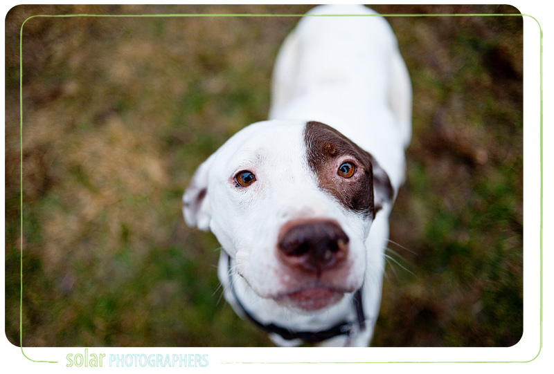 English Pointer Hound Mix