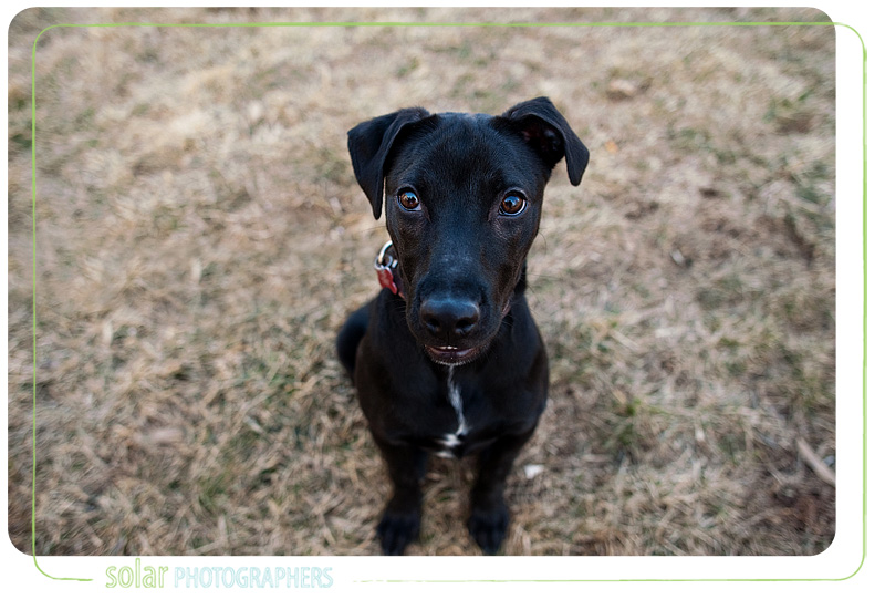 A Retriever mix puppy portrait taken at Wayside Waifs in Kansas City, MO