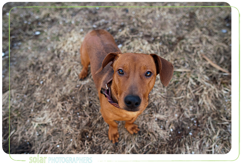 A Daschund puppy portrait taken at Wayside Waifs in Kansas City, MO