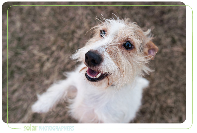 A Jack Russell Terrier puppy portrait taken at Wayside Waifs in Kansas City, MO