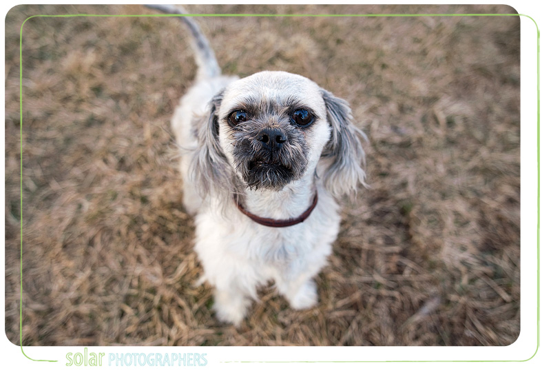 A Havanese mix puppy portrait taken at Wayside Waifs in Kansas City, MO