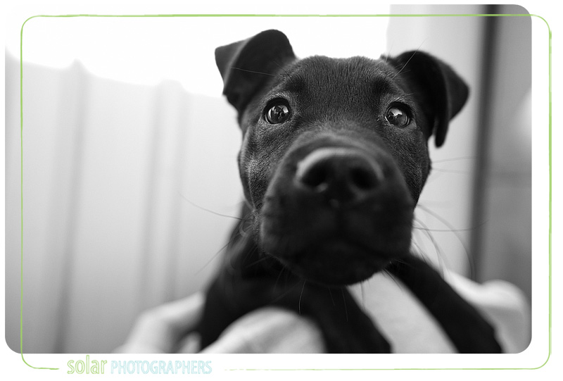 A Lab Pit Bull mix puppy portrait taken at Wayside Waifs in Kansas City, MO