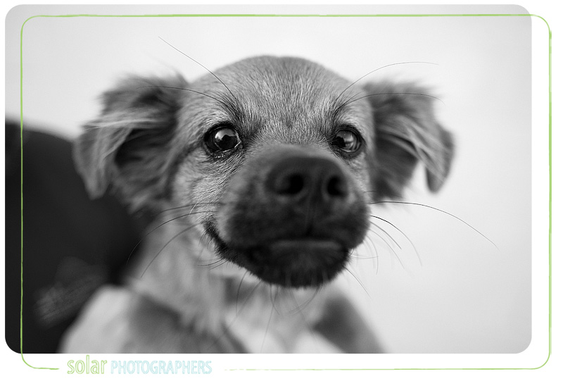 A Papillion Daschund mix puppy portrait taken at Wayside Waifs in Kansas City, MO
