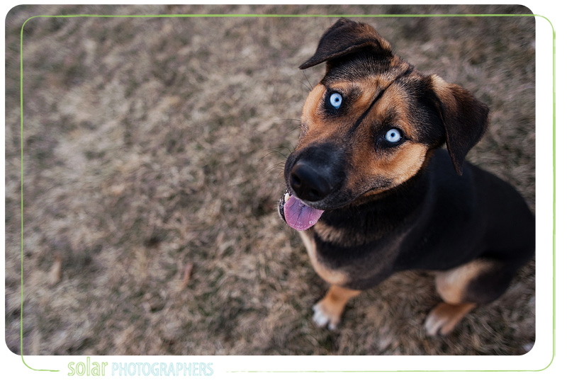 A Shepherd mix puppy portrait taken at Wayside Waifs in Kansas City, MO