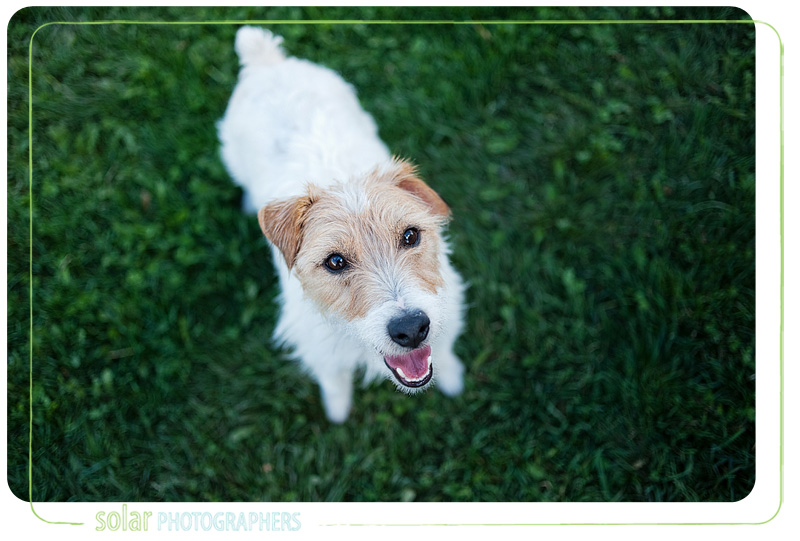A portrait of a Jack Russell Terrier puppy taken by Kansas City Dog Photographer Solar Photographers at Wayside Waifs.