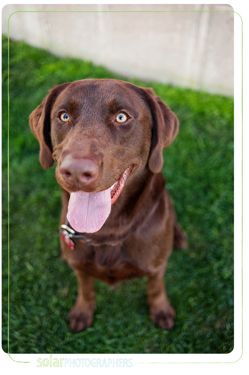 A portrait of a Chocolate Lab puppy taken by Kansas City Dog Photographer Solar Photographers at Wayside Waifs.