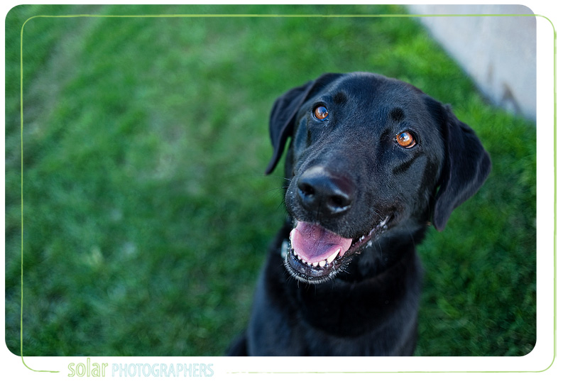 A portrait of a Black Lab puppy taken by Kansas City Dog Photographer Solar Photographers at Wayside Waifs.