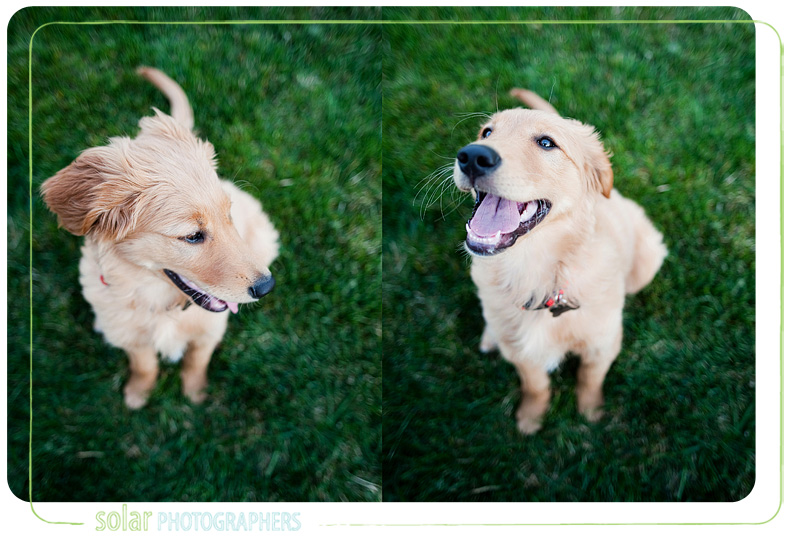 Golden Retriever Puppies For Sale In Kansas