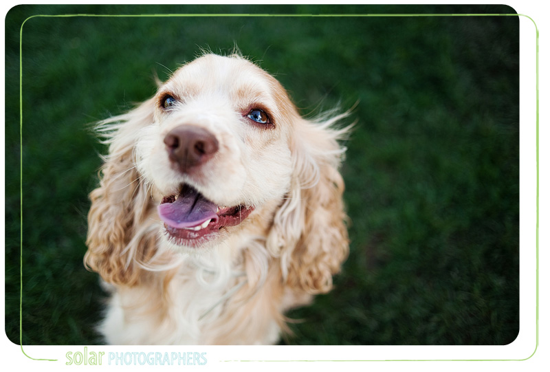 A portrait of a Cocker Spaniel puppy taken by Kansas City Dog Photographer Solar Photographers at Wayside Waifs.