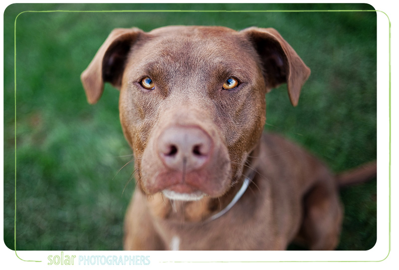 A portrait of a Chocolate Lab Golden Retriever mix puppy taken by Kansas City Dog Photographer Solar Photographers at Wayside Waifs.