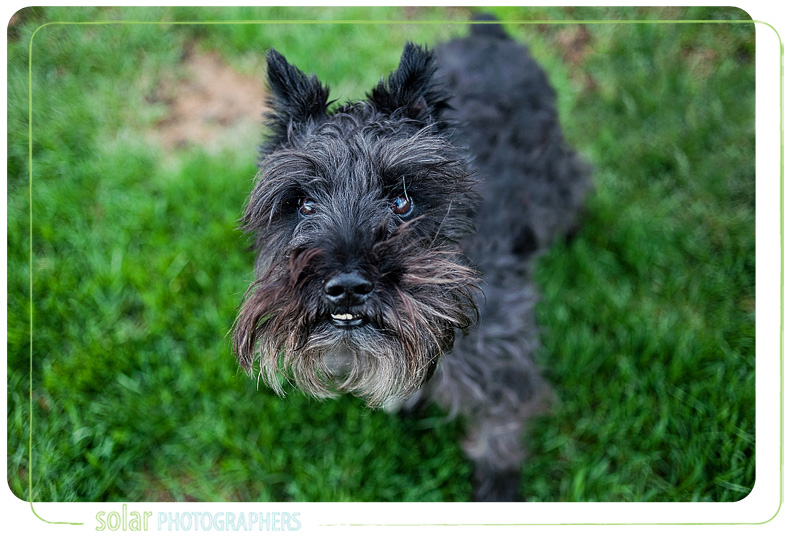 A portrait of a Schnauzer puppy taken by Kansas City Dog Photographer Solar Photographers at Wayside Waifs.