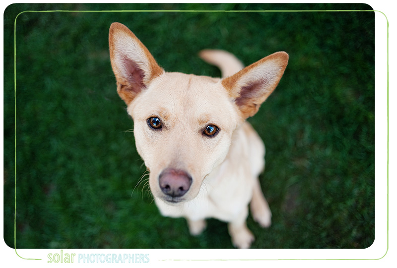 A portrait of a German Shepherd Lab mix puppy taken by Kansas City Dog Photographer Solar Photographers at Wayside Waifs.
