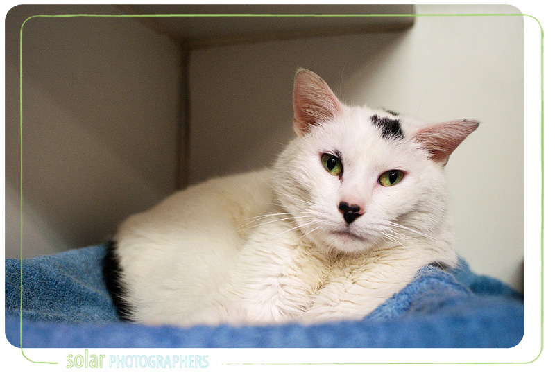 A cat named Ernestine available for adoption at Wayside Waifs in Kansas City, MO.