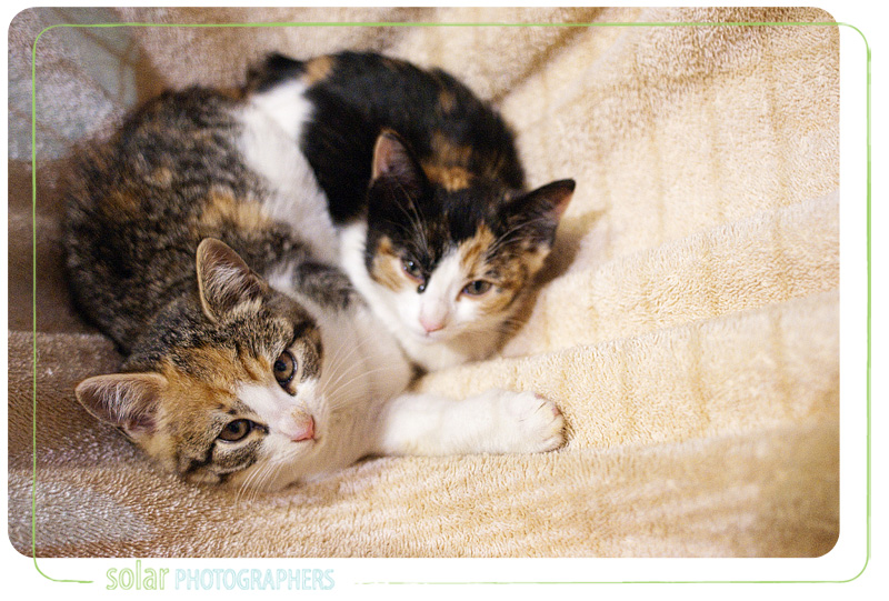 A couple of cats named Firecracker and Sugar available for adoption at Wayside Waifs in Kansas City, MO.