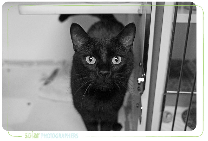 A cat named Hargis available for adoption at Wayside Waifs in Kansas City, MO.