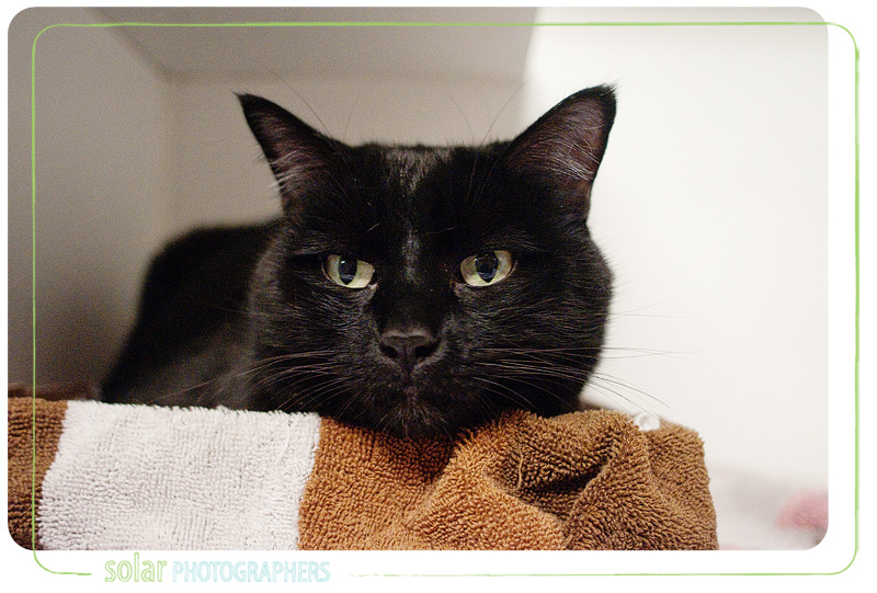 A cat named Luke available for adoption at Wayside Waifs in Kansas City, MO.
