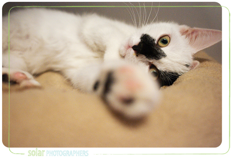 A cat available for adoption at Wayside Waifs in Kansas City, MO.