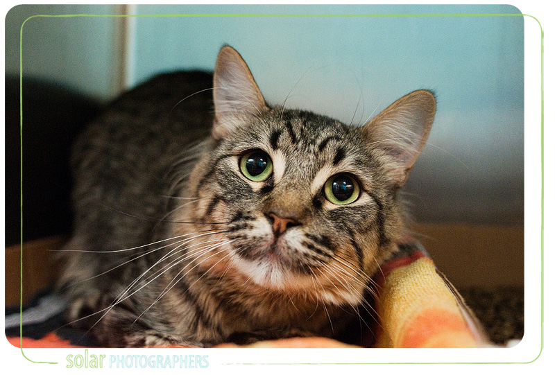 A cat named Simba available for adoption at Wayside Waifs in Kansas City, MO.
