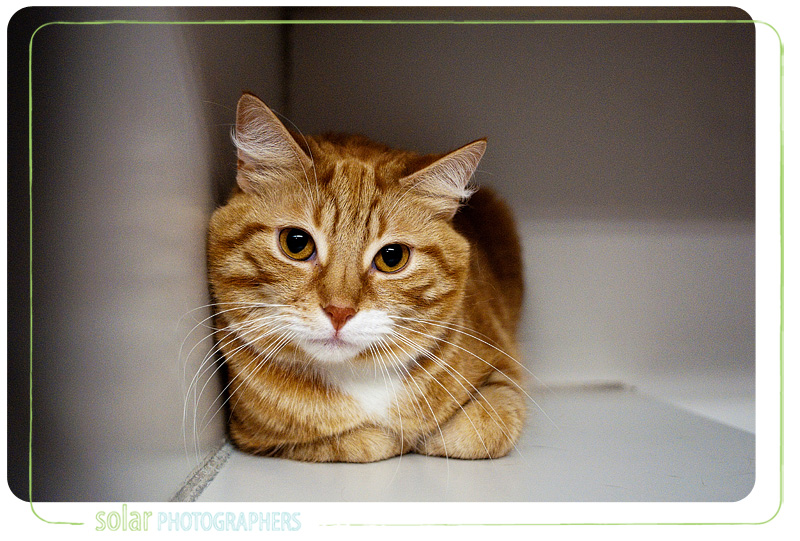 A cat named Smiley available for adoption at Wayside Waifs in Kansas City, MO.