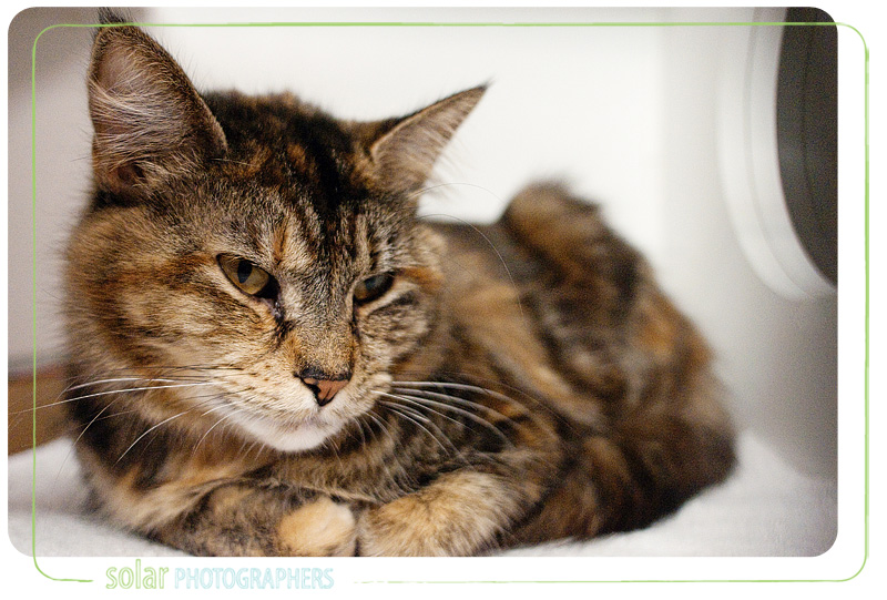 A cat named Zee available for adoption at Wayside Waifs in Kansas City, MO.