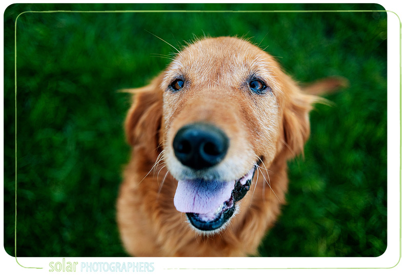 kansas-city-dog-photographer-beaarthur-golden-retriever