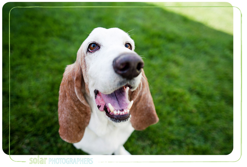 Slim, the adorable basset hound.