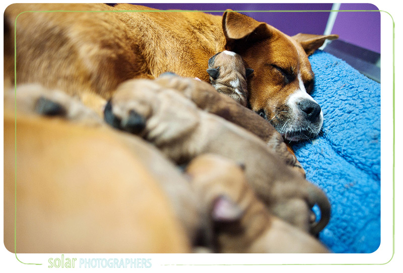 A mommy boxer snuggles with her brand new puppies.