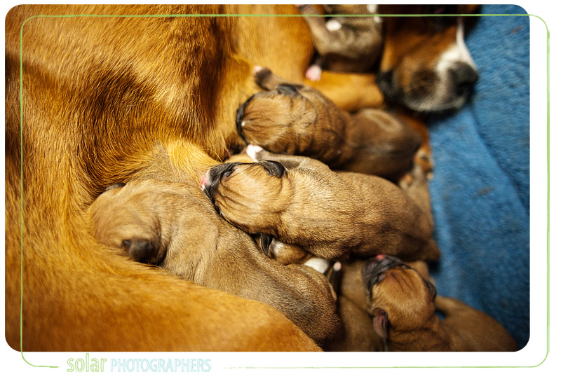 Boxer puppies feeding off their mommy at Wayside Waifs.