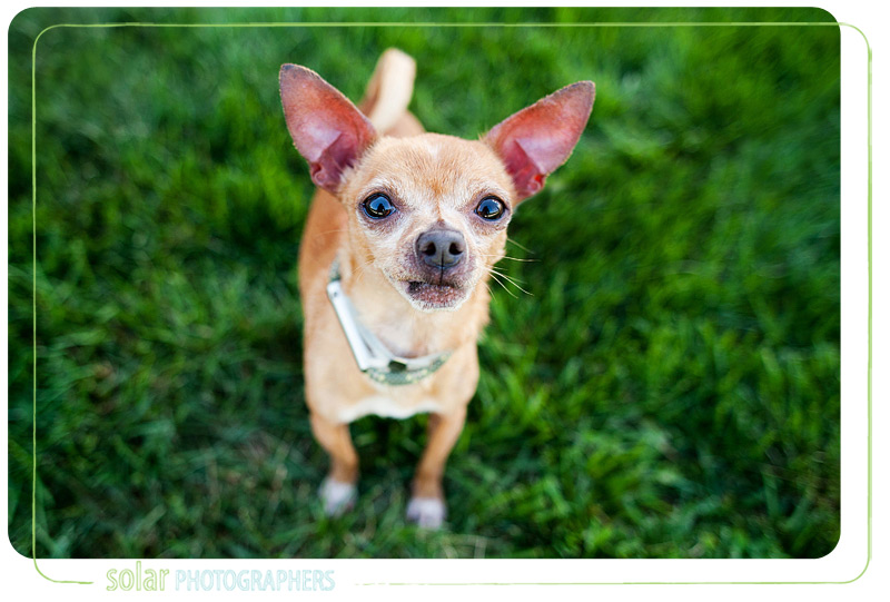 Pico the chihuahua, available at Wayside Waifs.
