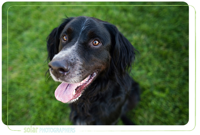 Tank, a Gordon Setter mix puppy.