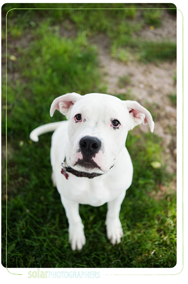 An American bulldog puppy.