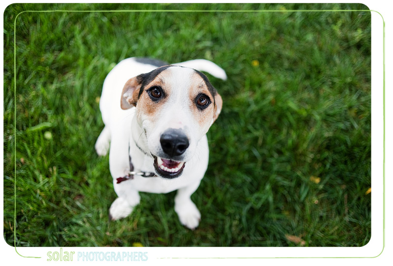 A Jack Russell beagle mix puppy from Wayside Waifs.
