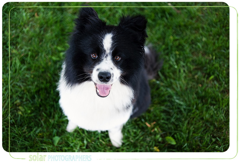 kansas-city-dog-photographer-dodger-sheltie-mix