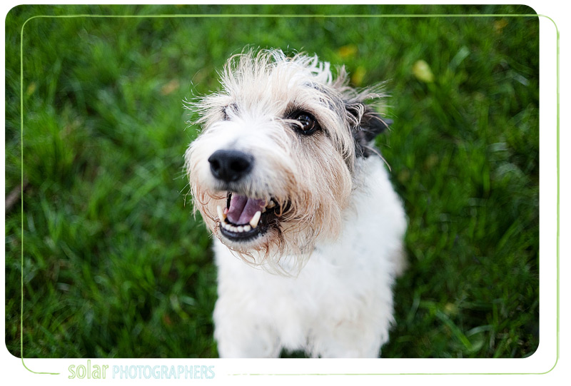 A wire hair fox terrier mix puppy looking for a great home from Wayside Waifs.