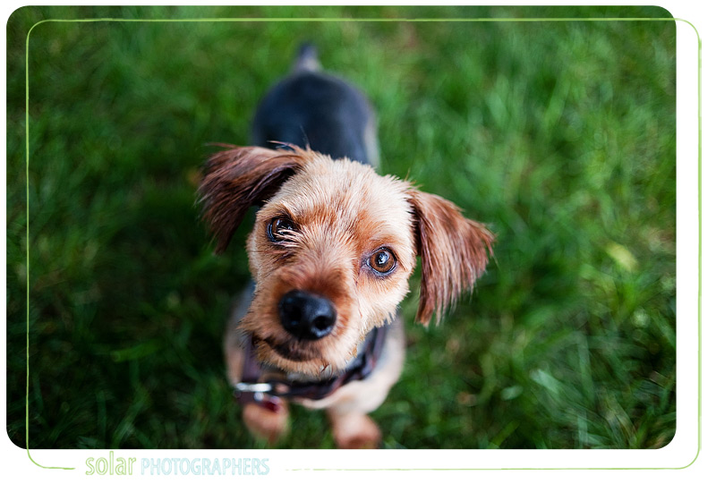 A silky terrier available from Wayside Waifs for adoption.