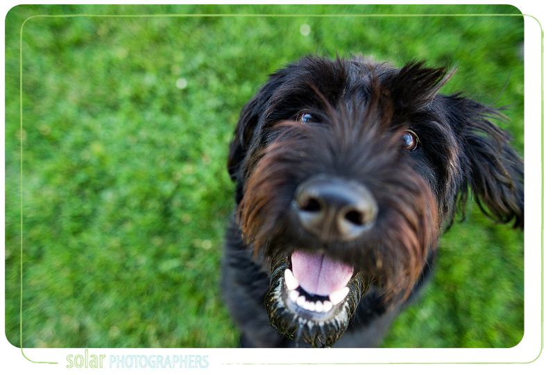 Phoebe, the cute Labradoodle available at Wayside Waifs.