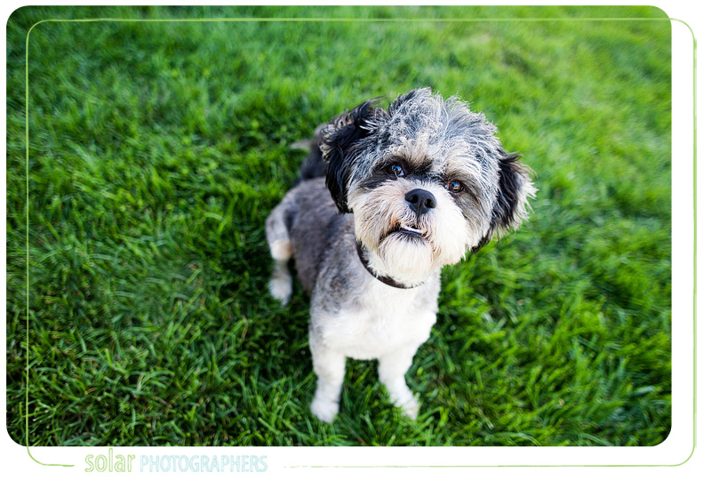 Arnold, the Lhasa Apso.