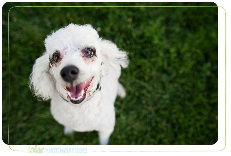 Albert, the poodle, available from Wayside Waifs in Kansas City.