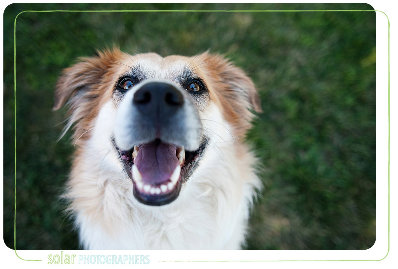 An Australian shepherd-retriever mix taken in Kansas City.