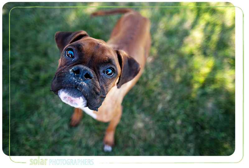 Portrait of a boxer taken at Wayside Waifs.