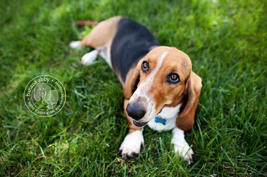 A cute basset hound laying in the grass.