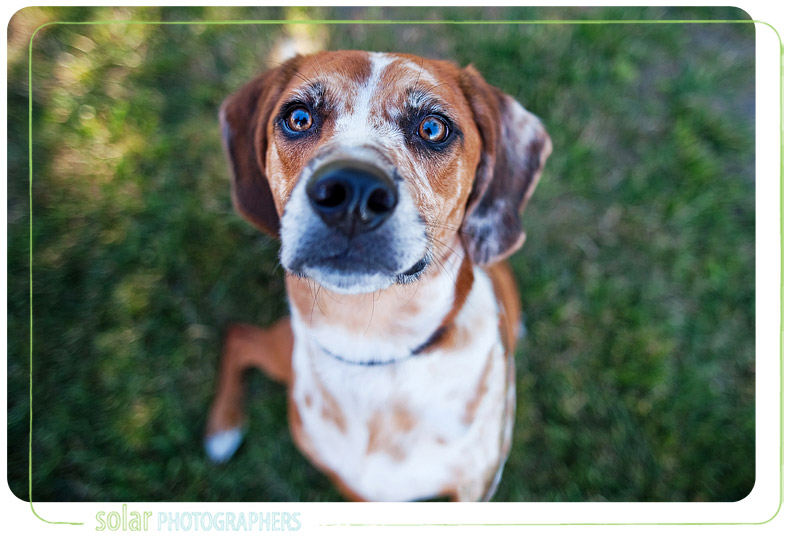 A portrait of a hound mix taken at Wayside Waifs in Kansas City.