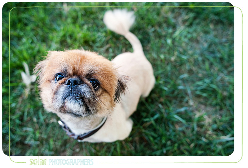 Portrait of a Pekingese puppy.