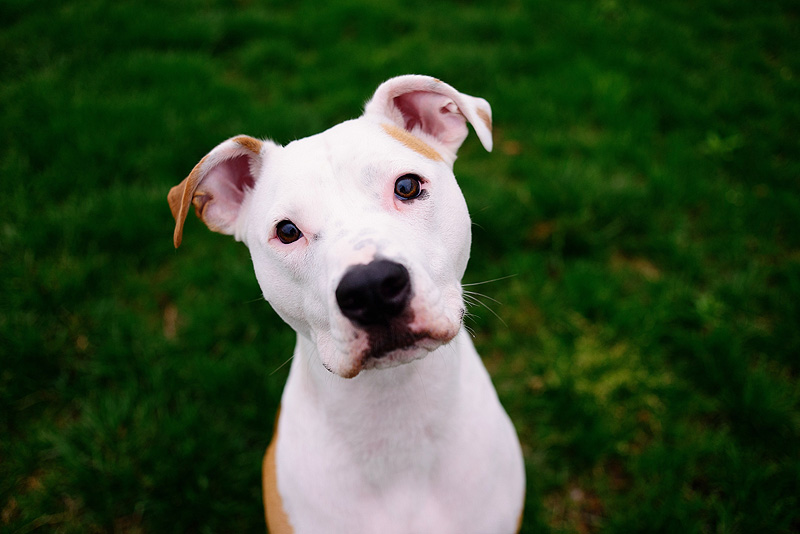 Cute portrait of a pit bull mix.